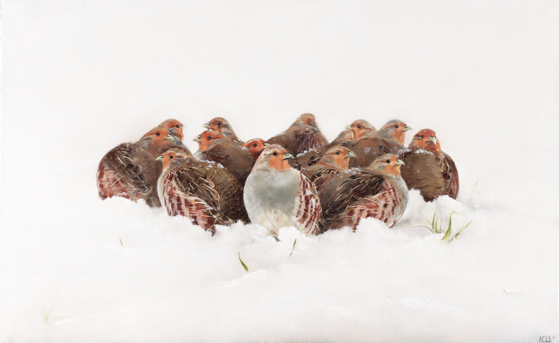 Huddled Covey of Grey Partridge